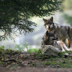 couple de loups préservons-les