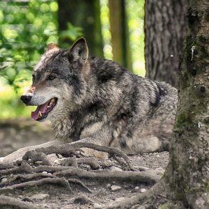 Protéger le loup en Auvergne-Rhône-Alpes
