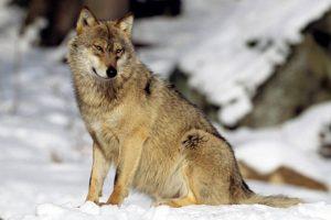 non au tir du loup