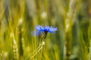 Bleuet dans un champ