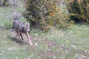 loups de France